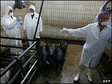 Egyptian vets take mucus samples from pigs in a Cairo slaughterhouse, 20 April