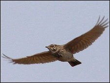 Crested lark seen on Dungeness last week