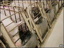 Pigs at farm in Quebec, Canada - photo 30 April