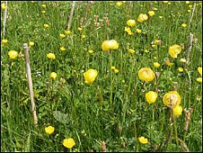 Globeflowers planted in hay meadow