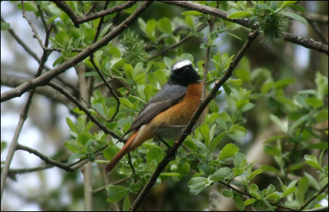 This male redstart was building a nest in an old stone wall in Cynghordy near Llandovery (Eileen Garske).
