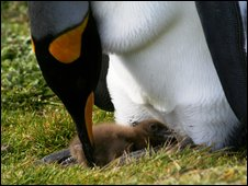 King penguin and skua chick