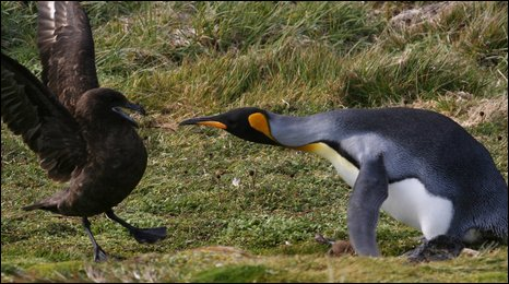 Penguin defends skua chick