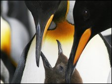 Adult penguins with chick