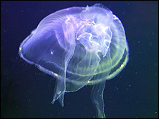 Jellyfish (Image: BBC)