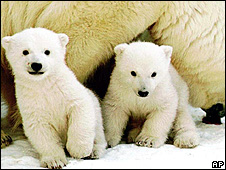 Polar bear cubs (Image: AP)