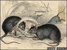 Engraving of rats from 1900