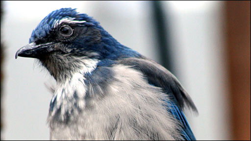 Western scrub jay (Christopher Bird)