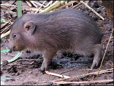 Baby pygmy hog  (PHCP/Durrell )