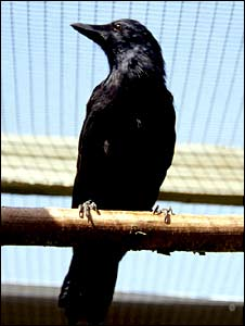 Betty the crow (Behavioural Ecology Group)