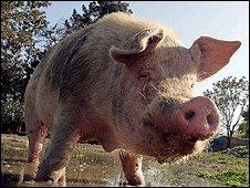 Khanzir the pig