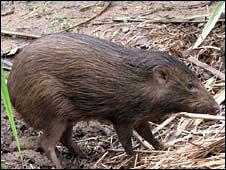 Pygmy hog  (PHCP/Durrell )