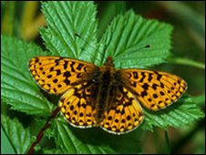 Pearl bordered fritillary, credit: Jim Asher, Butterfly Conservation
