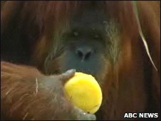 Karta the orangutan