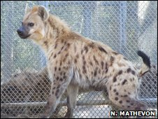 Spotted hyena (N Mathevon)