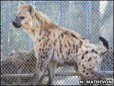 Spotted hyena (N Mathevon)