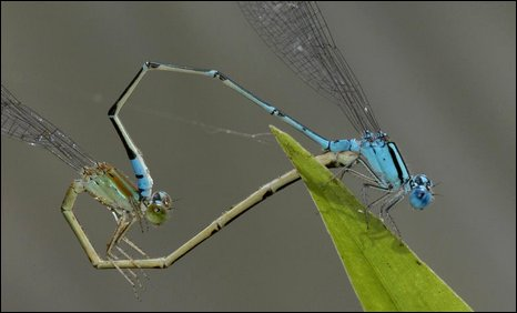 Dragonfly species pseudagrion microcephalum
