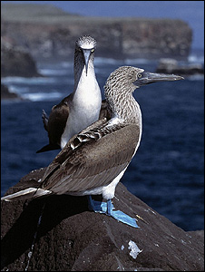 Blue footed boobies (Image: BBC)