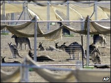 kangaroos are corralled in a pen before they are culled at a abandoned Department of Defense property near Canberra, May 20
