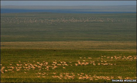 Largest ever herd of Mongolian gazelles (Copyright: Thomas Mueller)