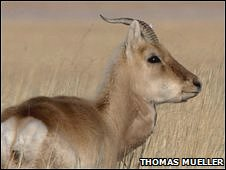 Male Mongolian gazelle (Copyright: Thomas Mueller)