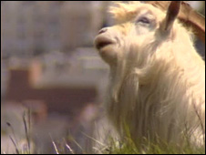 One of the Great Orme goats