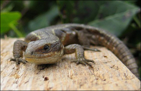 Jim Young did very well to get this close to a sunbathing lizard in Langland, Gower.