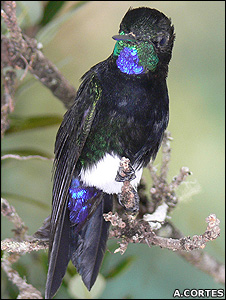 Gorgeted puffleg (Image: Alex Cortes)