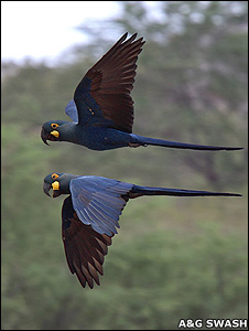 Lear's macaws (Image: Andy and Gill Swash/WorldWildlifeImages.com)