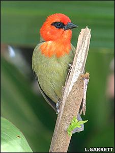 Mauritius fody (Image: Lucy Garrett/rarebirdsyearbook.com)