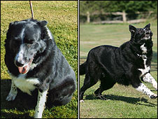 Taz before and after being taken into council kennels