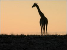 Giraffe at a water-hole in Namibia