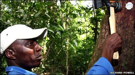 A Liberfor worker stamps a bar code tag on to a tree in the Liberian rainforest