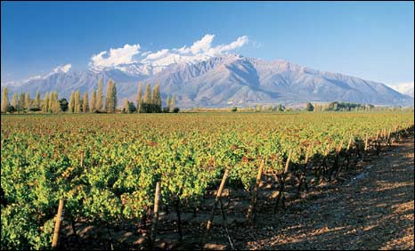 Chilean vineyard in the central zone