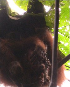 Orangutan with infant corpse