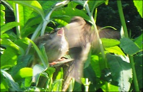 Sue Westacott took this picture of a young sparrow being fed by its mother in her garden in south Wales.