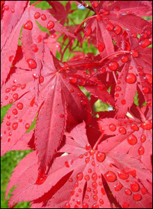 Gill Lewis sent us this close up picture of the acer tree in her garden in Cardiff after a heavy shower.