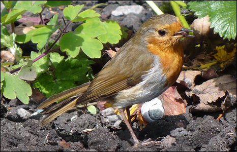 This little robin scours Rhoda Williams' garden in Rhymney for treats after she had been digging.