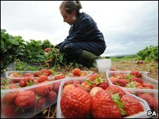 A woman picking strawberries