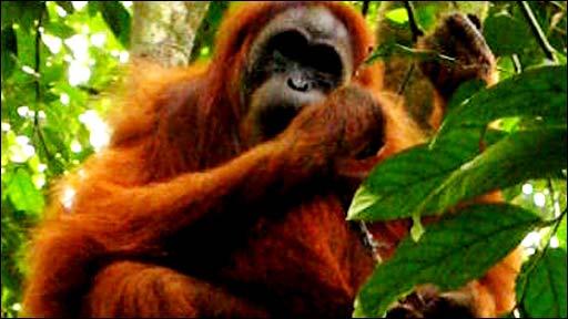 Ratna, a female orangutan