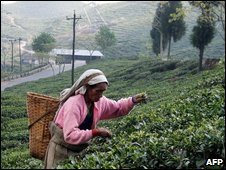 Tea picker near Siliguri, India