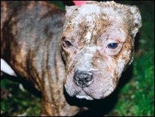 Injured pit bull-type dog