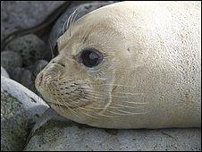Leucistic elephant seal