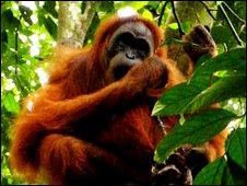 Female orangutan with corpse