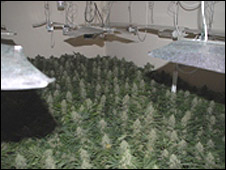 Trimdon Street cannabis farm