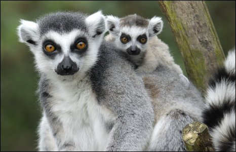 Ring-tailed lemurs Rox...