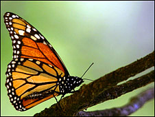 A monarch butterfly (Photo: Mario Vazquez / AFP / Getty Images)