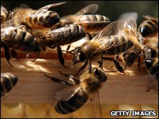 Honey bees at a hive in the UK
