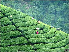 Tea workers in China (file photo)