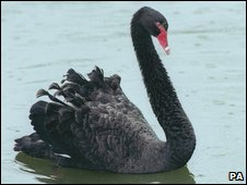 Black swan (PA)